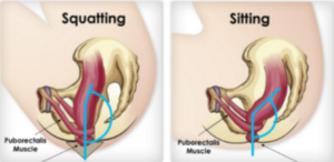 Squatting vs Sitting - Puborectalis muscle